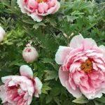 【牡丹】オレリー・デュポン【薔薇】