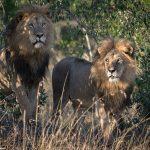 【動物】ライオンの世界にも「性の多様性」、仲むつまじく寄り添う2頭の野生オスライオンがケニアで目撃される