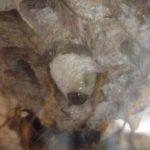 アシナガバチを飼う2