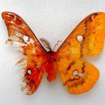 【虫】体半分がオス、半分がメスのガ 虫愛する女子高生が発見