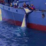 【捕鯨】シー・シェパード、生々しい日本の調査捕鯨映像を公開オーストラリア当局が撮影★3