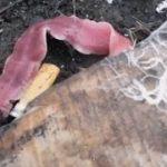 【生態系】世界遺産・小笠原の土壌動物壊滅 意外な生物が原因だったことを解明/東北大
