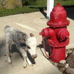犬と同じ大きさにしか育たない「ミニチュア牛?」がペットとして人気に[895142347]