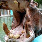 【いきもの】カバに噛まれて女性飼育員が大怪我。仙台市の八木山動物公園