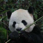 パンダ、竹や笹よりタケノコのほうが好きだったと判明 竹はタケノコがない冬にしょうがなく食べていた