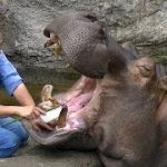 女性飼育員がカバに噛まれ重傷 右前歯が左手を貫通し神経を損傷 カバさん、だめだぞ