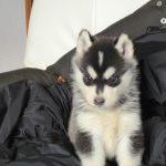 犬の中で1番可愛い犬種はシーズーだよな![858860497]