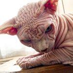 【速報】クッソしわくちゃで気持ち悪い猫がいると世界中で話題に これはちびるわ[876811395]