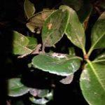 【マツムシ】秋の鳴く虫総合スレ四匹目【カンタン】