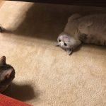 【指原】マンチ・カン太郎&ミヌエット五郎応援スレ★29【猫ーズ】